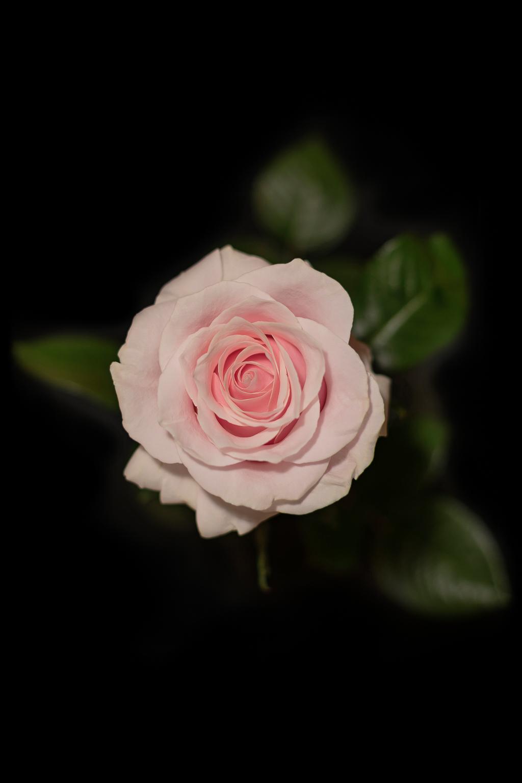Różowa róża na czarnym tle